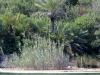 cannaie-de-lagune-aurundo-versus-theophrasti-golkoy-turkey