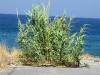 cannaie-littorale-karpathos-1