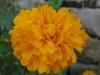11-novembre-fleurs-2012-22