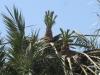 PALMERAIE agriculture (2).JPG