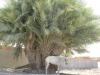 PALMERAIE agriculture (3).JPG