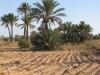 PALMERAIE agriculture (5).JPG