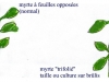 bouquet-rituel-juif-de-soukkhot-7