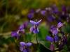 PHOENIX GARDEN Bordighera fleurs (12)