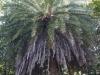Phoenix loureiroi