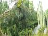 Floriculture Sasso Bordighera Eucalyptus