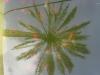 Palmiculture Dactylifera Bordighera (1)