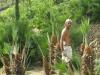 Palmicuture Chamaerops Bordighera (2)