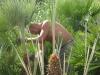 Palmicuture Chamaerops Bordighera