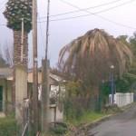 Diespalmarum infested palms in alaliada