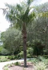 Hybrid Mule palm x Butiagrus nabonnandii Florida