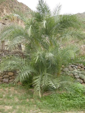 Hybrid Phoenix reclinata x caespitosa Djibouti