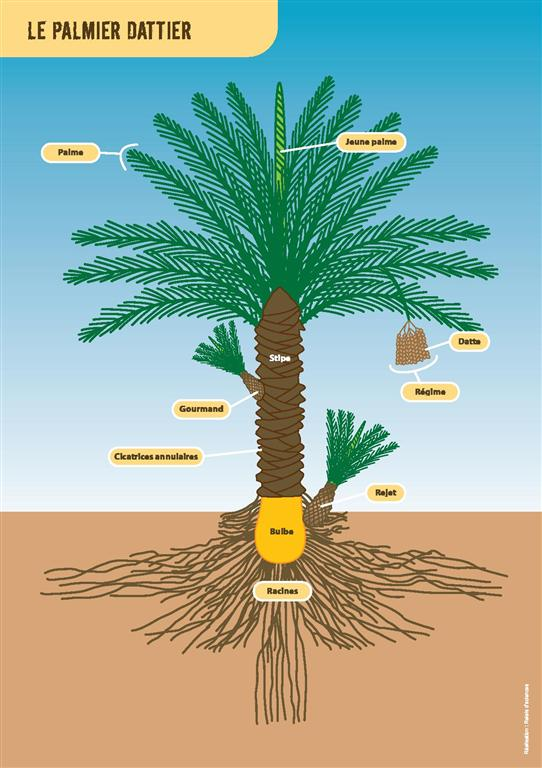 Morphometry date palm