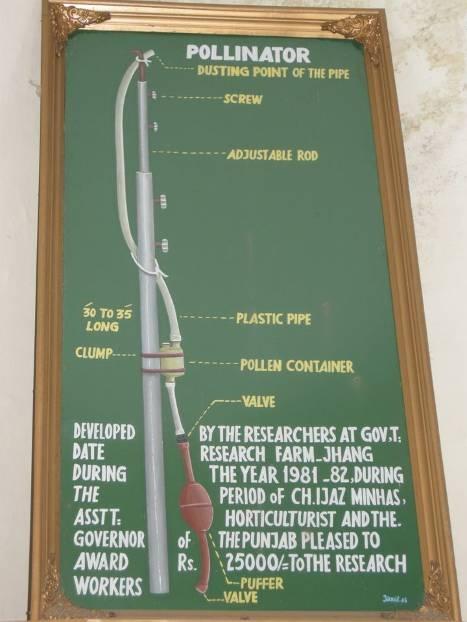 PAKISTAN Punjab Jhang pollinisation