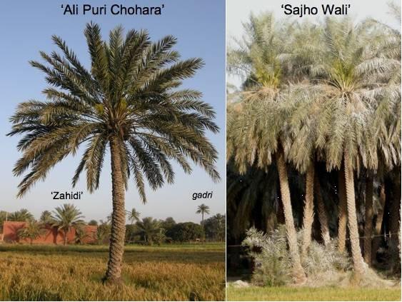 PAKISTAN Punjab Muzaffargarh cultivars