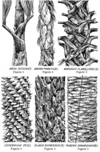 Phoenix Canariensis Phyllotaxie