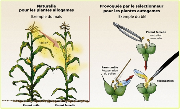 Pollinisation naturelle et controlee