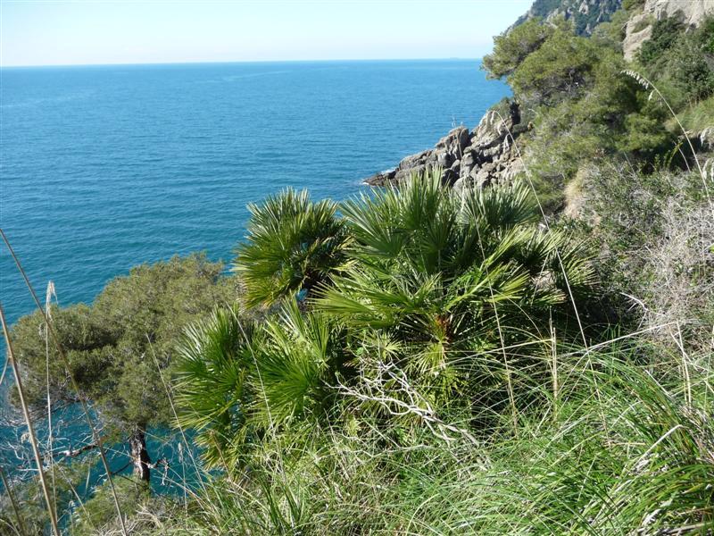 Chamaerops Portofino Italy