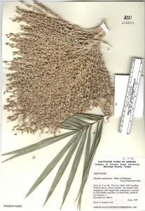 Phoenix canariensis Herbarium Arizona State University