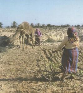 Agriculture Kerkena labour avec dromadaire