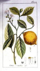 Agrumiculture Cedrat Citrus medica