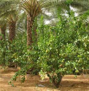 GHARDAIA agrumiculture oasienne